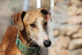 Galgofreedmo - CAMPEÓN urgently needs a new home